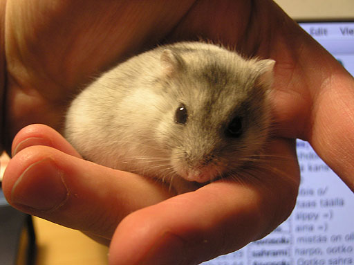 A hamster sitting on a hand.
