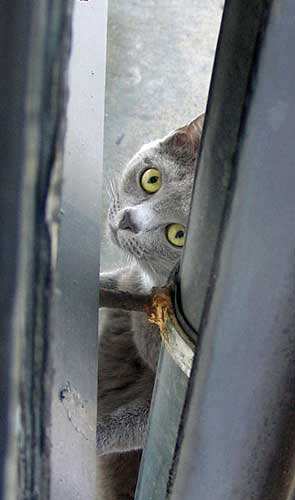 A gray cat peeking through a small crack.
